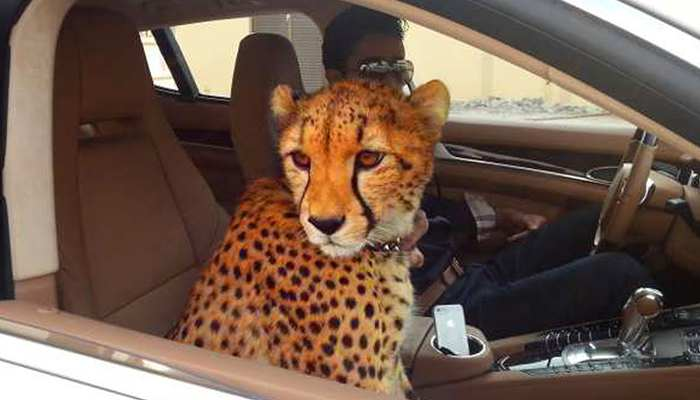 Dubai'de aslan beslemek